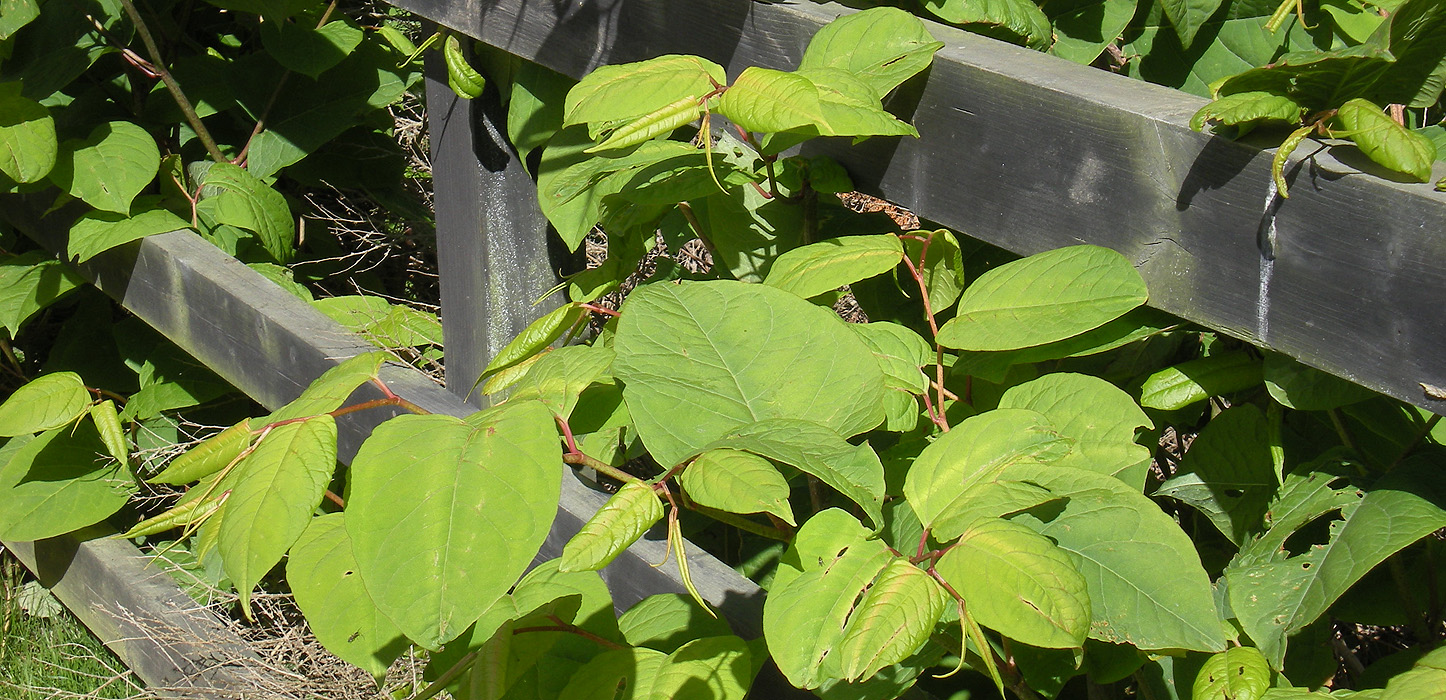 Japanese Knotweed - Copyright Jenny Stuart