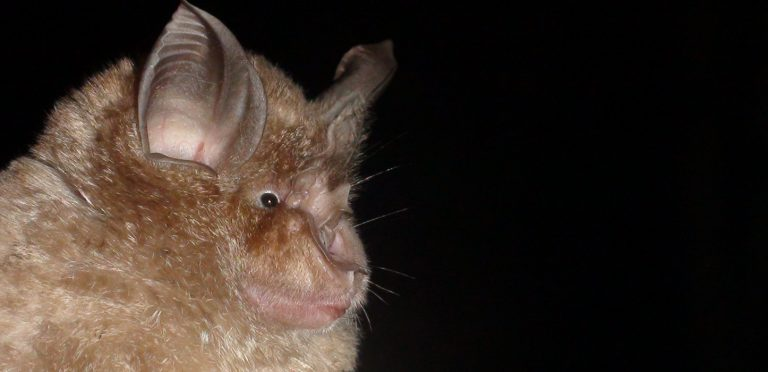 Greater Horsehoe Bat - copyright Daniel Hargreaves