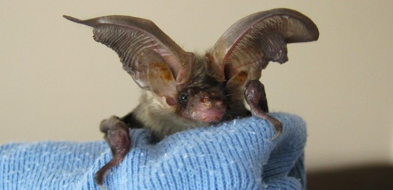 A young Brown Long-Eared Bat - copyright Sue & Chris Harlow