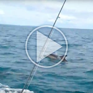 Dolphins Video - Off Falmouth Bay