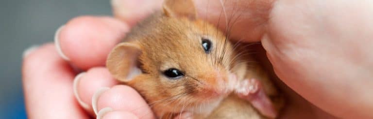 Ecology services - Dormouse cupped in hands - copyright Tom Marshall