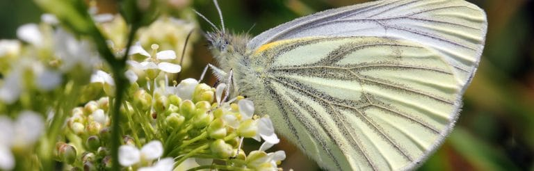 Ecology services - Green veined white Butterfly - copyright Jim Highman
