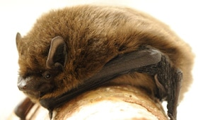 Protected Species - Pipistrelle bat - copyright Amy Lewis