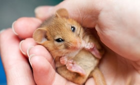 Protected Species - Dormouse in cupped hands - copyright Tom Marshall