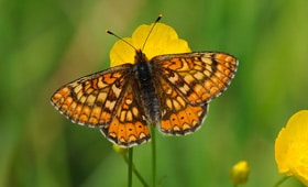 Protected species - Marsh fritillary - copyright Amy Lewis