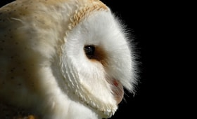 Protected Species - Barn owl - copyright Tyto alba, St Columb Major, Cornwall.