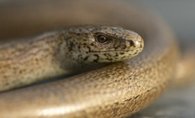 Protected Species - Slow worm - copyright Richard Bowler