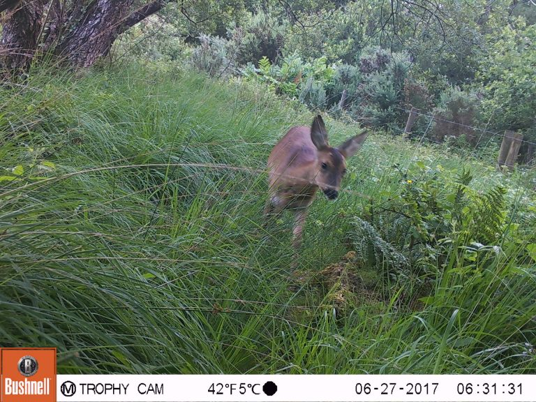 Roe Deer captured on trail camera