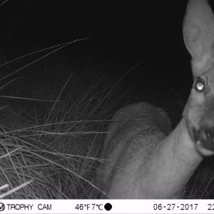 Roe deer up close on trail camera