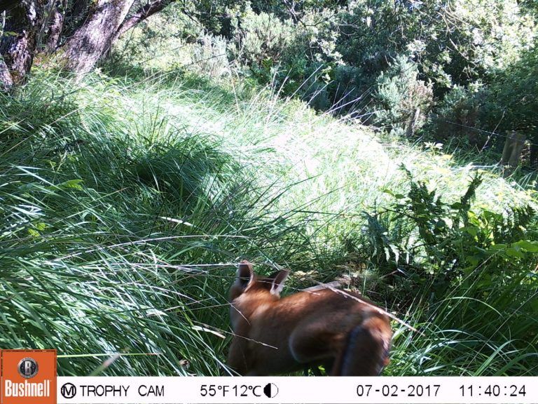 Fox captured on trail cameras