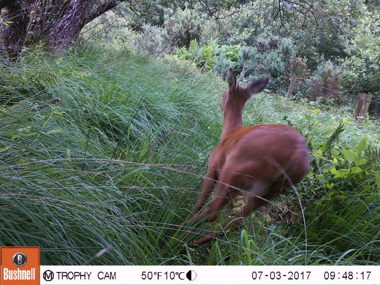 Roe Deer running on trail camera