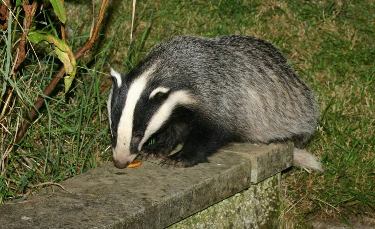 Badger by Geoffrey Jones