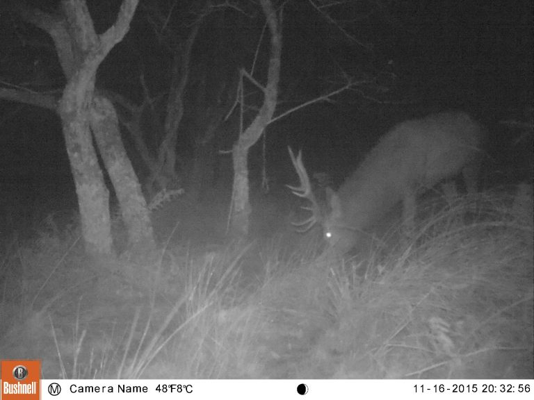 Red deer captured on trail cameras