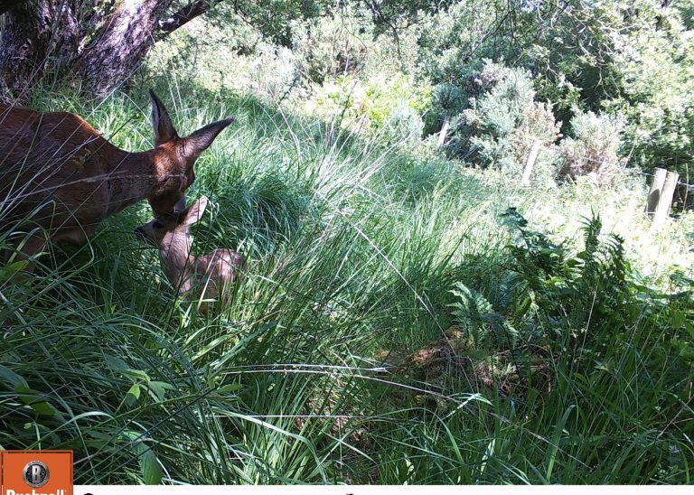 Baby roe deer with mum