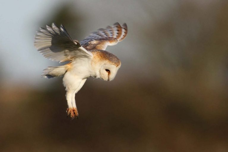 Barn Owl hunting Credit Margaret Holland