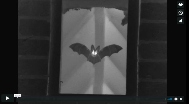 Brown long-eared bat video - credit Ian Baker