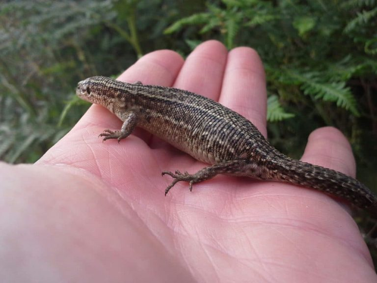 Pregnant lizard found during A30 widening scheme