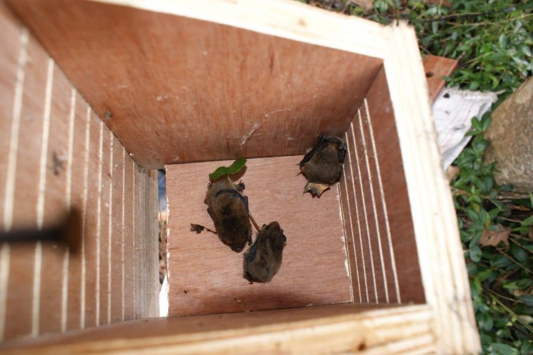 Pipistrelle bats in bat box