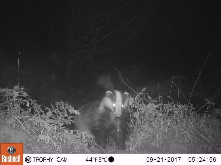Badger caught on trail camera