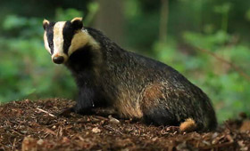 Protected species Badger