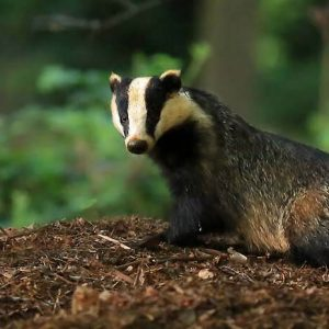 Natural England license charges - Badger in Surrey Hills - copyright Jon Hawkins