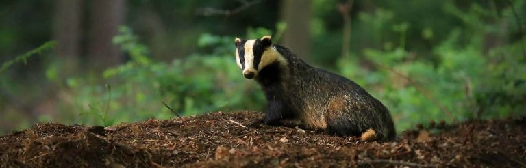 Protected species / survey - Badger in Surrey Hills - copyright Jon Hawkins
