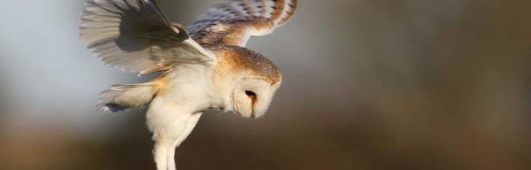 Ecological Survey Calendar - Barn_owl_c_MUST-REF-Margaret_Holland