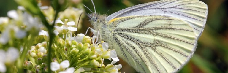 Ecology services - Green veined white Butterfly - copyright Jim Highman - Summer Newsletter