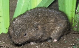 Protected Voles