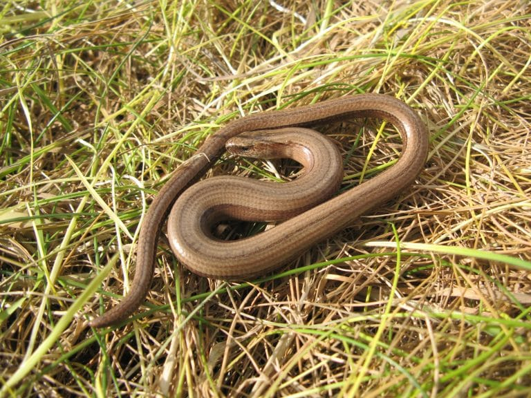 slow worm - credit Steve Adams